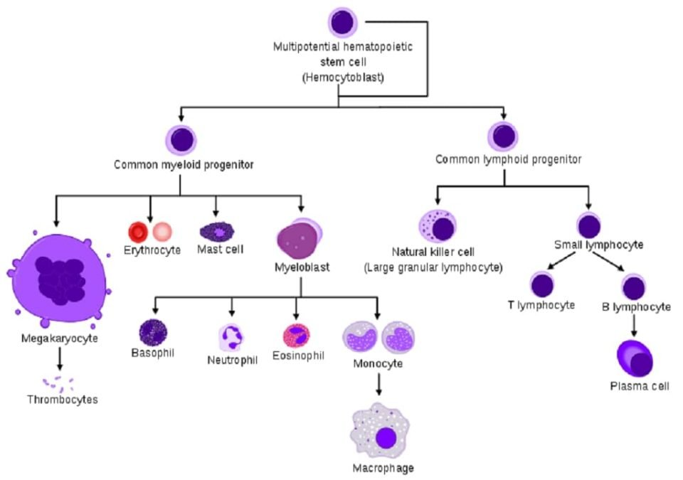 hematopoiesis - formation of blood cells - formation of red blood cells - white blood cells - platelets